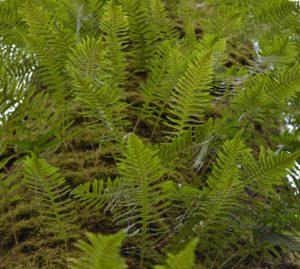 Fern epiphytes