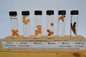 Chum-salmon_hatchery-life-stage_labeled