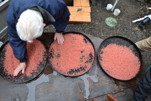 About 30,000 Chum salmon eggs!