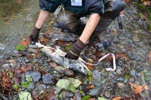 Salmon Spawning Survey; 11-12-16