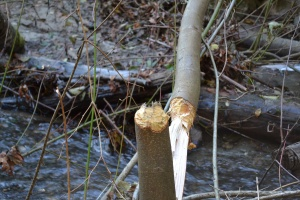 beaver-business_Carkeek-Creek_11-15-14